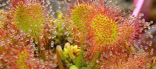 Плотоядные растения: Тропические росянки