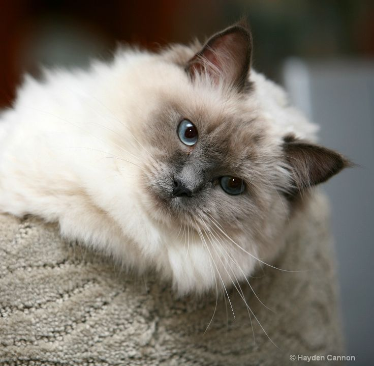 .loved my Ragdoll/Birman boos, Kitty Grey 21 yrs & Jasmine, who I rescued & she only lived 6 weeks. they are the most loving, velcro like, compassionate cats. They knew when I was hurting & would gently lay next to me. All of my other cats, though I loved, never had that intuition.