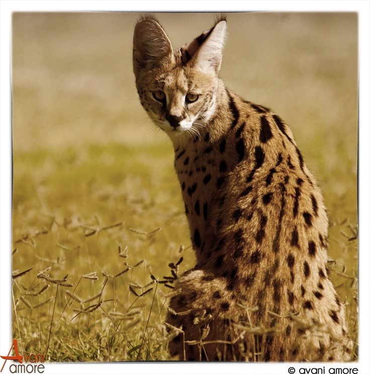 Serval, one of the small five of Africa. bigger than a domestic cat. Elegant and Mysterious.  Photo by #avaniamore