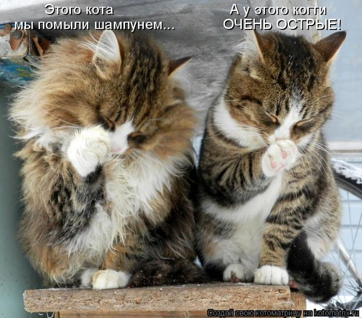 Этого кота                             А у этого когти мы помыли шампунем...            ОЧЕНЬ ОСТРЫЕ!...