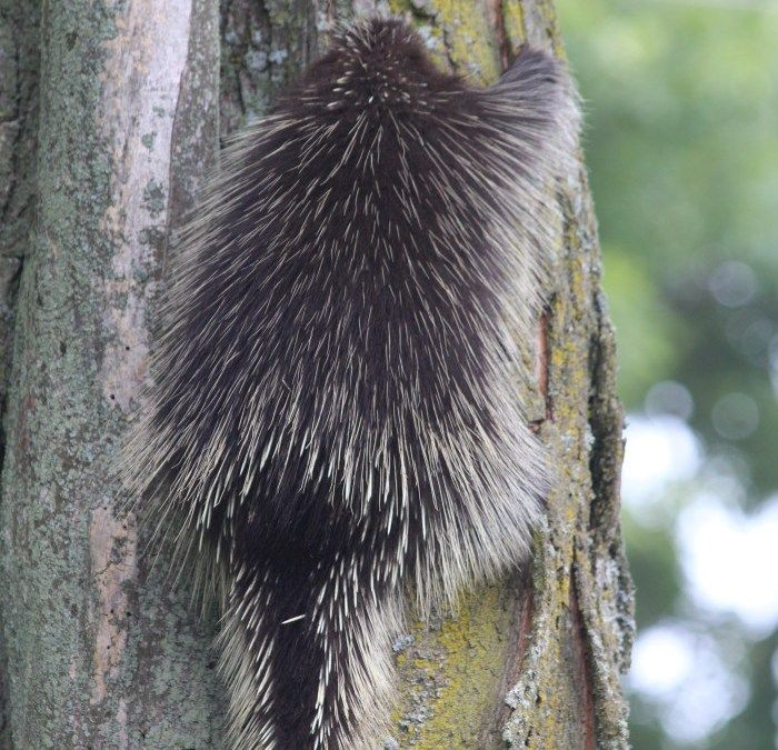 Porcupine Sighting Labour Day of 2014 was the first time we have laid eyes on a live porcupine. My husband saw it walking across our front lawn and in the nick of time stopped our dog Rosco from going to investigate. #porcupine #oakridgemoraine #porcupinesighting #porcupinephotography