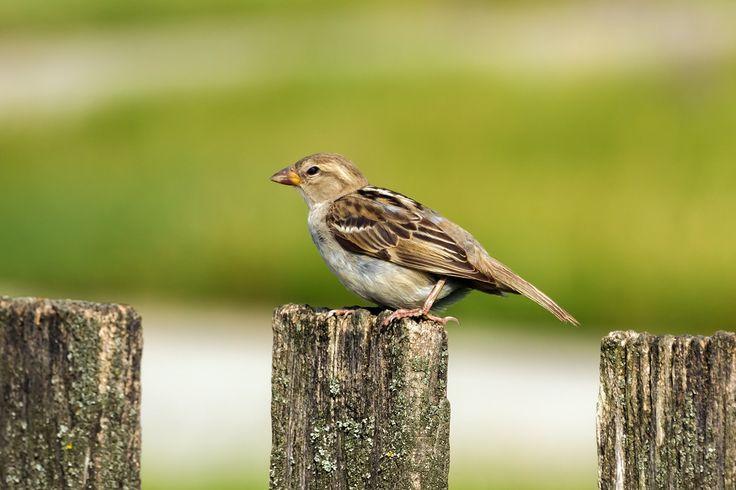 House sparrow by Tamas Pataki on 500px