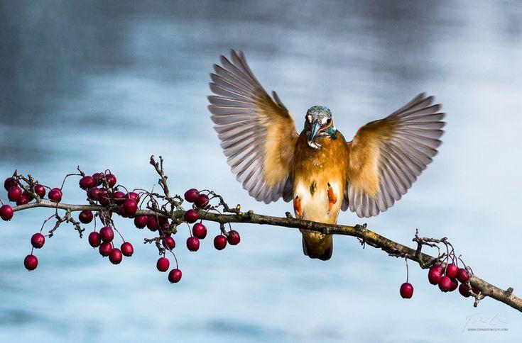 https://flic.kr/p/kJ2ziv | Landing gear deployed | Kingfisher coming to land after a successful dive / Jégmadár tér vissza zsákmányával egy sikeres merülés után. via 500px ift.tt/1mUEXwQ