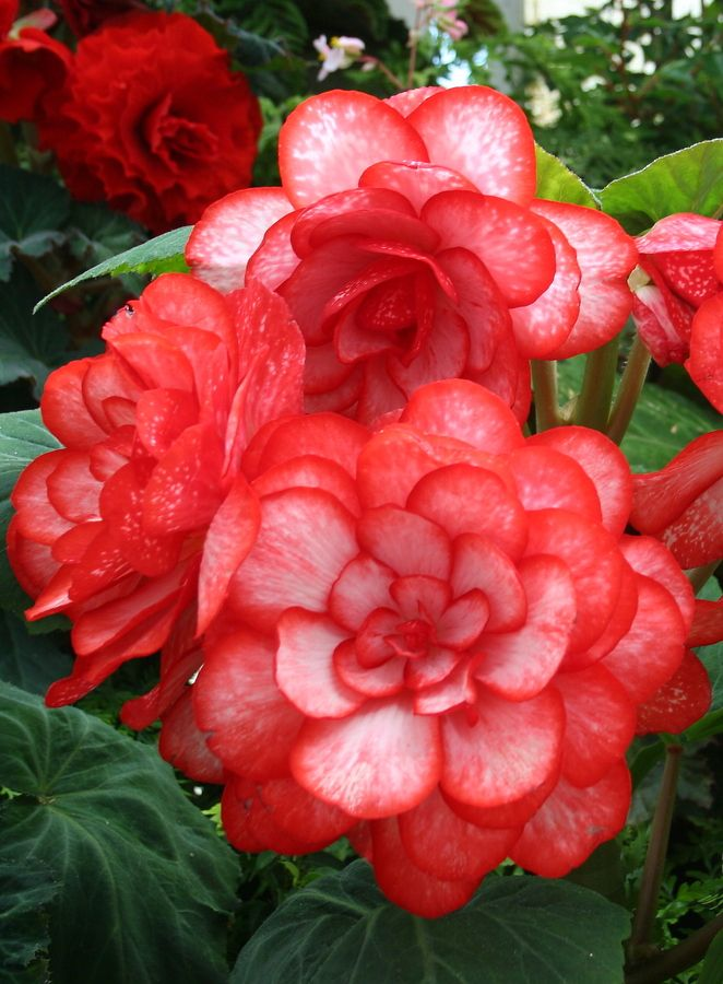 Red Begonias... partial  shade plants for Summer!