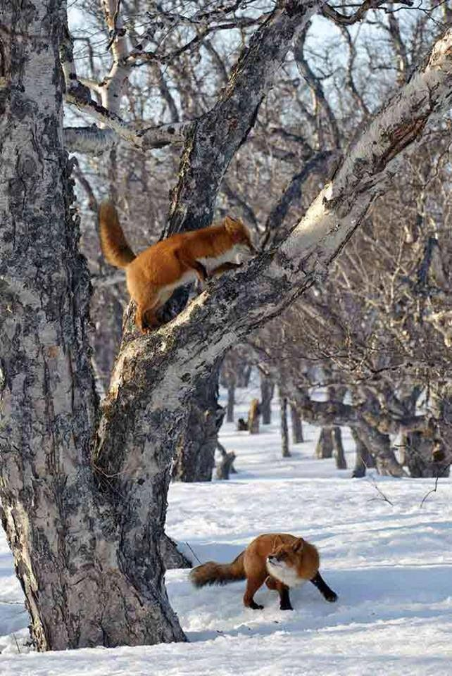 Red Foxes in a tree playing