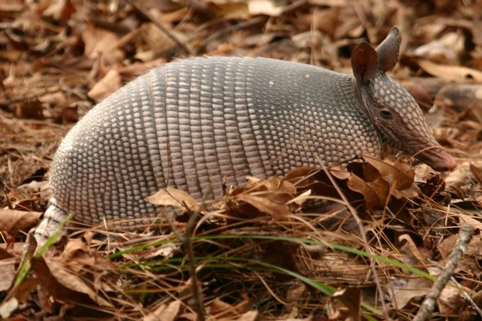 The armadillo might not be native to Texas, but it's as enmeshed in our state's narrative as The Alamo. This creature is resilient and fascinating.