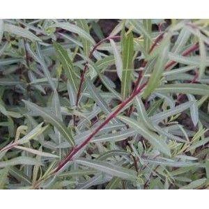Salix purpurea / Punapaju