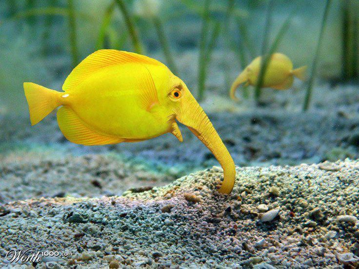 54 best fish images on pinterest water animals exotic fish and elephant fish in aquarium yes its real although this picture may be tinted bright yellow the normal coloration is dull brown or grey publicscrutiny Images