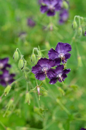 Geranium Phaeum 'Lily Lovell', Geranium 'Lily Lovell' , Dusky Cranesbill 'Lily Lovell', 'Lily Lovell' Geranium, Mourning widow 'Lily Lovell', Purple Geranium, Best geraniums, Best groundcovers
