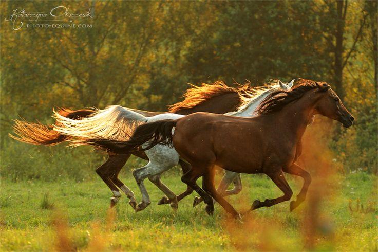 The race is afoot... Purebred Arabian Mares from Arabian Stud Tarnawka. #horse #Equine #Photography by Katarzyna Okrzesik