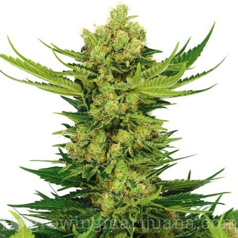 The Complete Marijuana Seed & Grow Set (Medical)