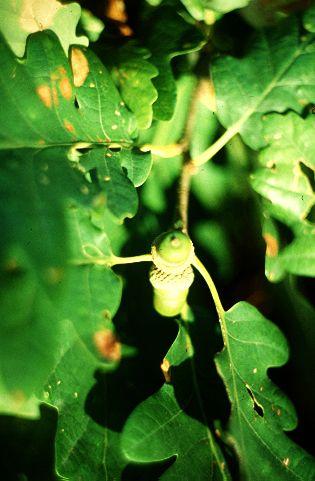 Kocsánytalan tölgy (Quercus petraea, Fagaceae) (Babos Károly felvétele)