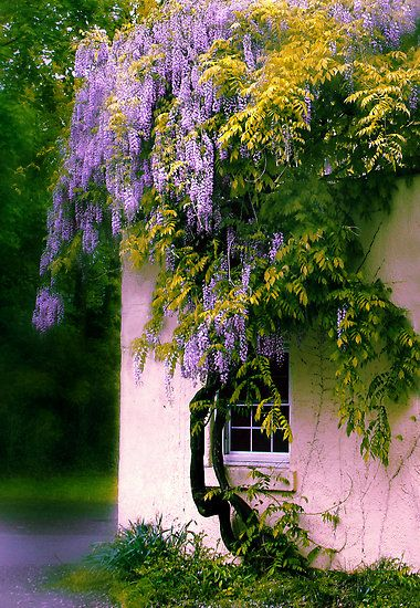 "floralls:  ""Wisteria"" by Jessica Jenney"