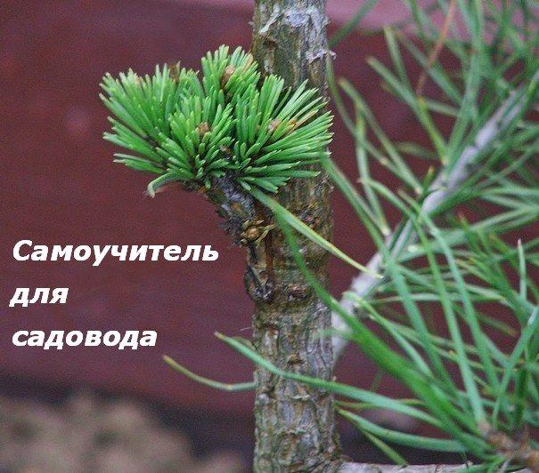 ПРИВИВКА ДЕРЕВЬЕВ  Прививка деревьев. Мастер-класс по прививке плодовых и декоративных растений.  Read more: http://www.ufagarden.ru/privivka-derevev