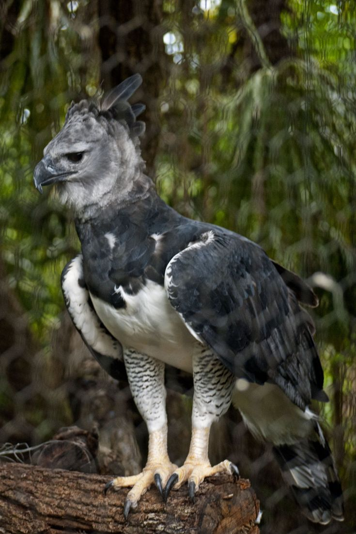 Elven Mercenary's Harpy Eagle | Red & White Story ...