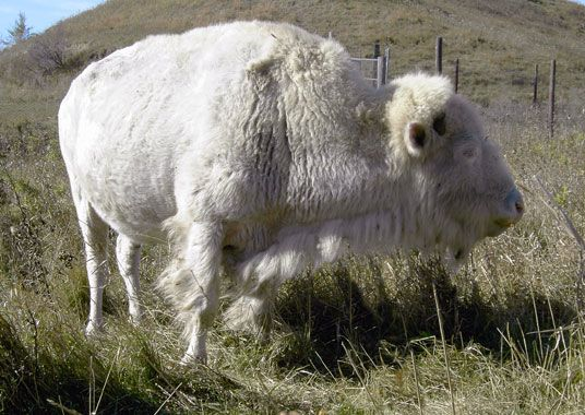 White Cloud the only certified true albino bison in the world, roams with the herd owned by the National Buffalo Museum in Jamestown North Dakota.  She has had 11 calves as of spring 2014. One of those was Dakota Miracle, a white buffalo.