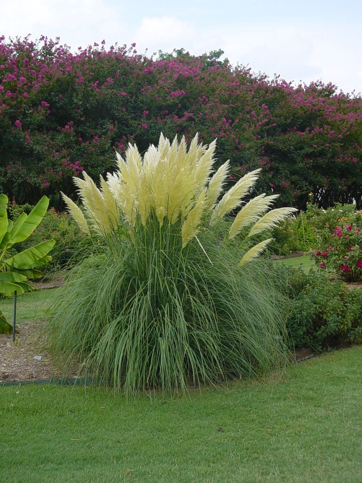 Jet streams pampas grass features extremely showy ivory for Giant ornamental grass