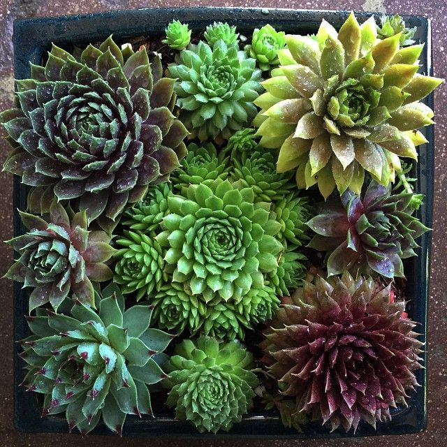 Look what we made with the various hens and chicks we've got at juicykits.com  #sempervivum #succulents #succulove