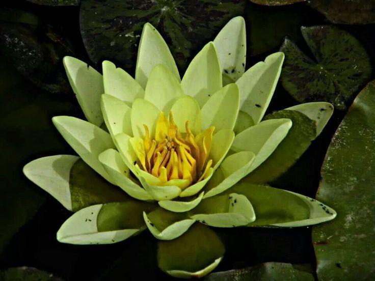 Fior di loto Malaspina