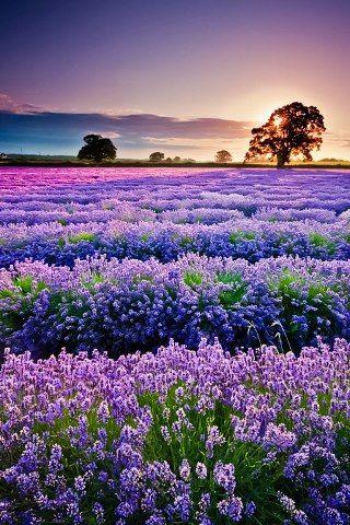 辺り一面紫に染まる南フランス・プロヴァンス地方のラベンダー畑 Lavender fields in Provence, France.