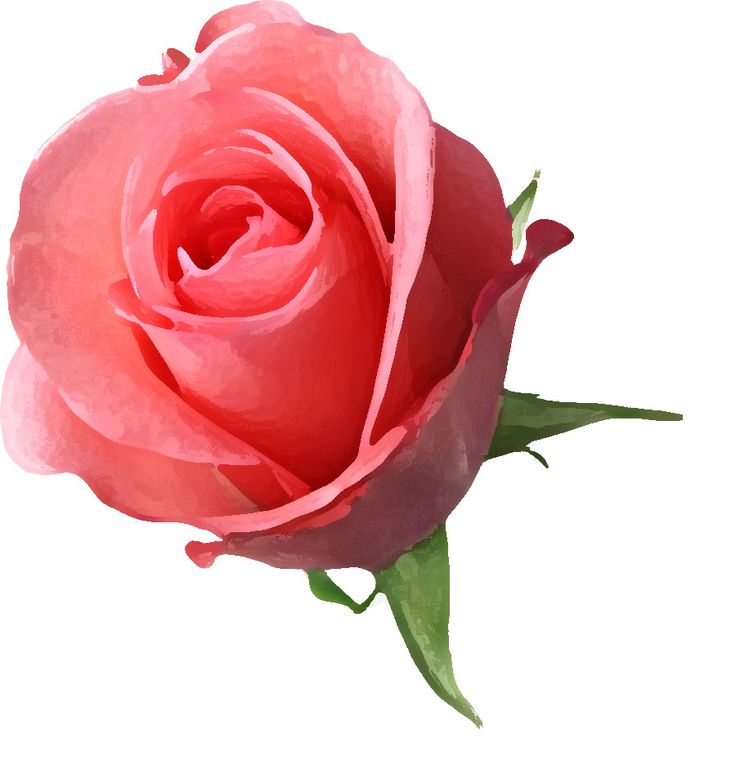 「バラ」の画像検索結果