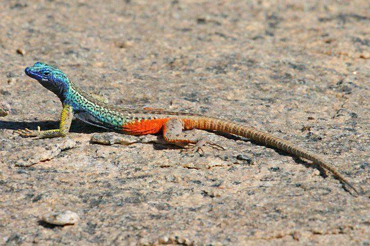 Lucertola - kameleon II