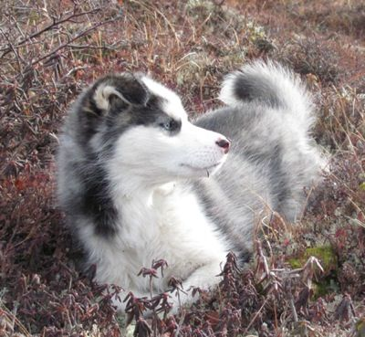 Labrador Husky - Wikipedia, the free encyclopedia