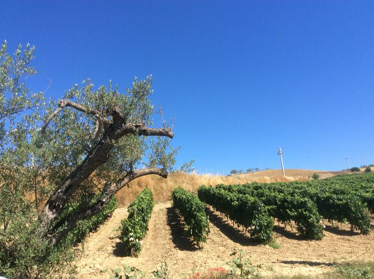 Le nostre viti, il nostro più grande amore. #love #wine #chardonnay #petitverdot #moscatobianco #nerodavola #frappato