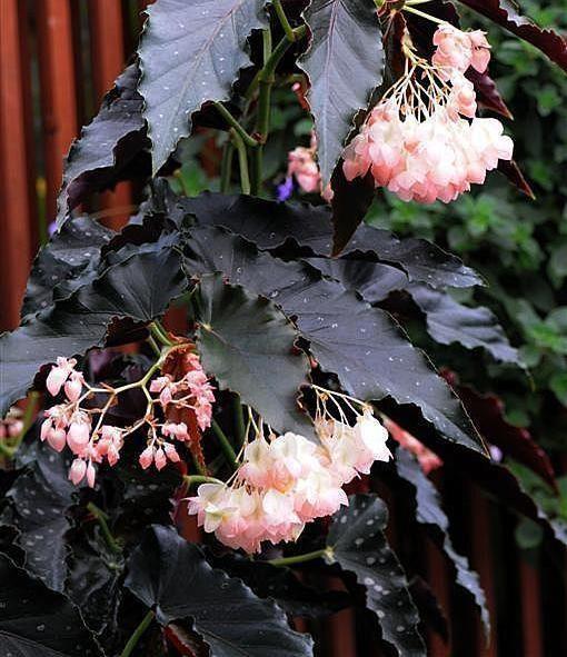 Angel Wing Begonia 'Good 'n Plenty'