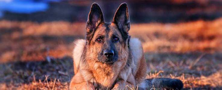 Σκύλος, κυριαρχία και επιθετικότητα. Ποια είναι η αλήθεια; [video]