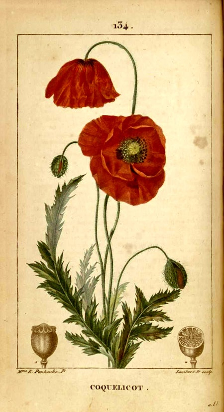 poppies coquelicot                                                       …