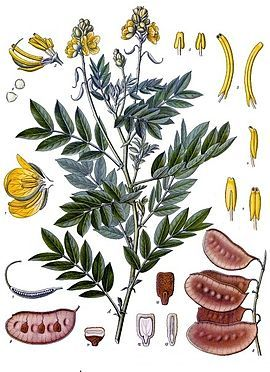 Las plantas en el A.E: Propiedades curativas de la hoja del sen