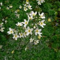 Турча болотная (Hottonia palustris)
