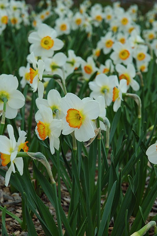 Narcissus Plant | Narcissus 'Flower Record' flowers