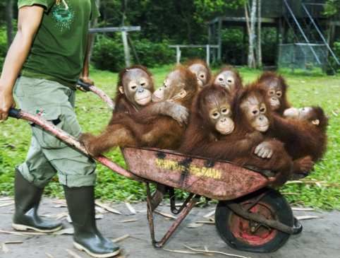 Go palm oil free, and save these gorgeous babies from being homeless: Barrel Of Monkeys, Funny Pictures, Barrels Full, Wheels, Funny Animal, The Zoos, Barrels Of Monkey, Wheelbarrow Full, Baby Orangutans