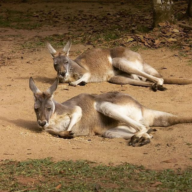 Synchronised relaxation! These chilled out residents of Roo Heaven were snapped at Australia Zoo. This zoo is home to a collection of over 100 different animals, some of which you can have an interactive encounter with! There's even a dedicated bus from Noosa that takes you straight there...