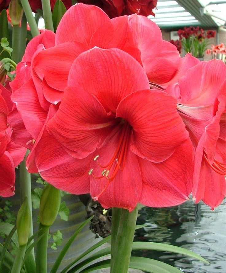 5 amaryllis bulbs red papilio hippeastrum bonsai barbados for Amaryllis royal red arrosage