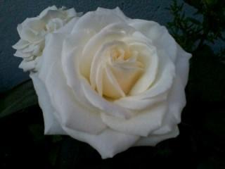 rosa branca representa a paz......
