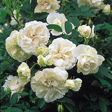 2 meter. Zon 4.Snowdon    En praktfull Austin rugosahybrid. Välformat kraftigt växtsätt som gärna vill klättra. Rent vita, tätt fyllda, rosettformade blommor. Doftar äpple och nypon. Uppkallad efter Wales högsta berg med samma namn