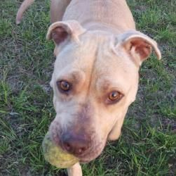 Ginger #31785 is an adoptable Pit Bull Terrier Dog in Baton Rouge, LA. Very loving young lady!! I mean if you don't rub her, she will rub you!!!! Knows sit and roll over. She appears to be housetraine...