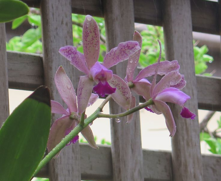 Broadbeach Market Find. 3rd Year Flowering