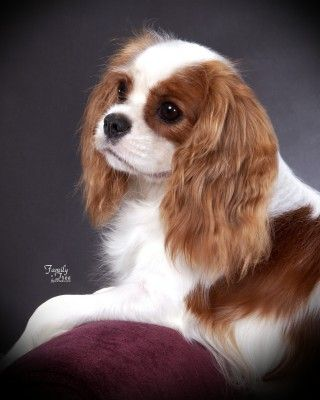 Small Dog Breeds Alphabetical | What is a good small dog breed for a house dog? - Democratic ... Cavalier King Charles