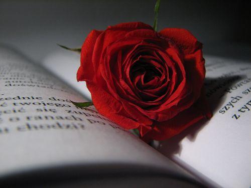 Rose Flower Aesthetic Red