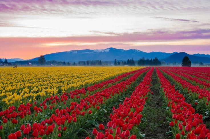 Campos de tulipa no vale de Skagit, Estados Unidos - 26lugares reais que parecem saídos deumconto defadas