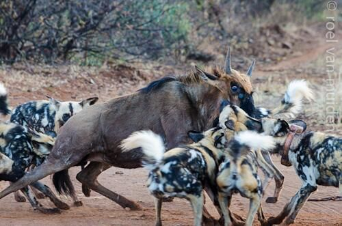"RT @jacislodges ""dramatic pictures of a #wilddog kill in #madikwe   "" http://ow.ly/C8OEz"