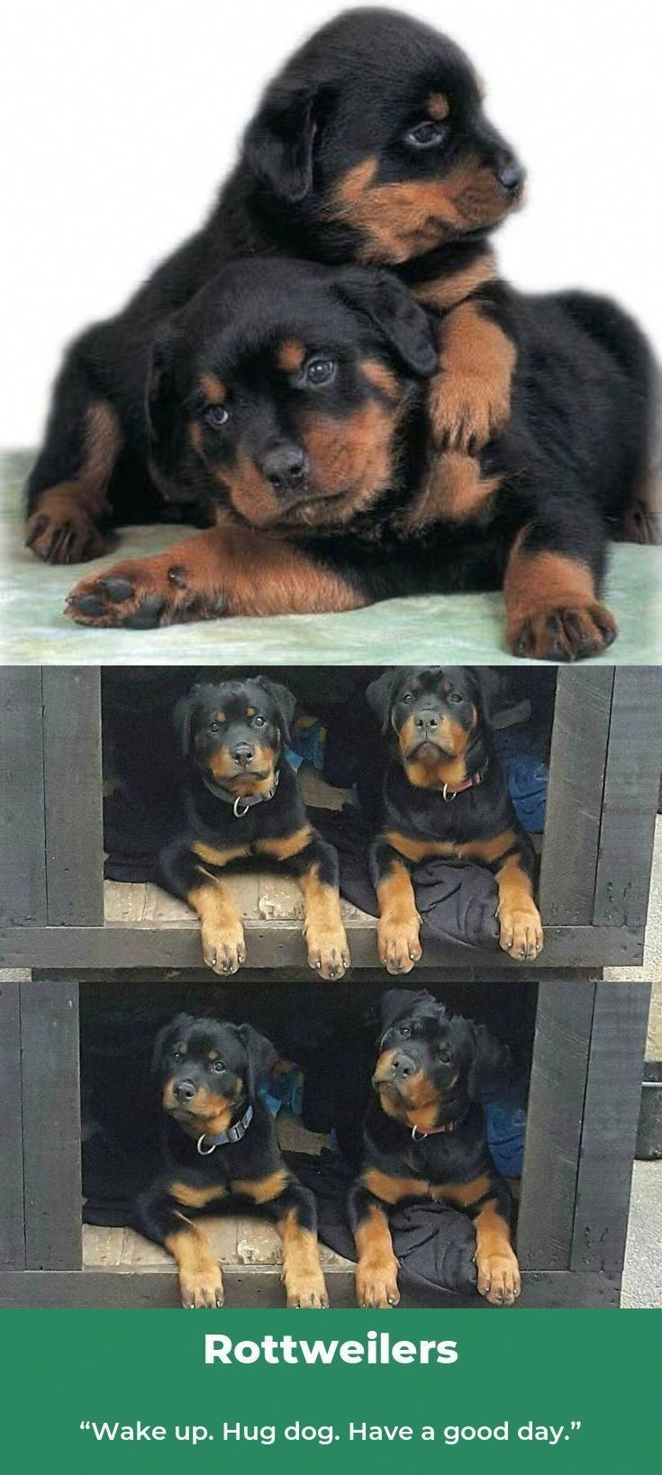 Exceptional Rottweiler Puppies Detail Is Readily Available On Our Internet Site Read More And You Will Not B Dog Breeds Cute Baby Puppies Rottweiler Puppies