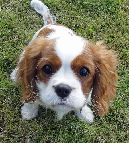 Cavalier King Charles spaniel... I want one.