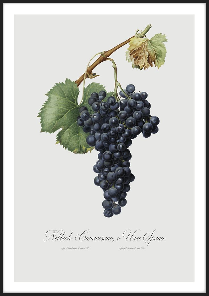 Blue Grapes, tavla från Insplendor tryckt med Giclée Fine Art Print-teknik