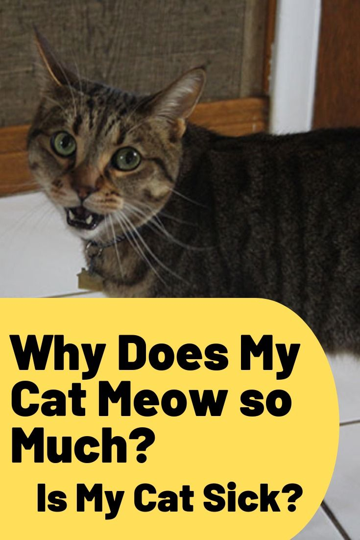 Why Does My Cat Meow So Much Is My Cat Sick Raising Kittens Cats Cats Meow