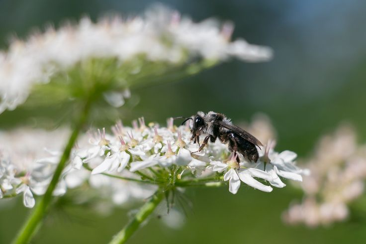 Ashy Mining Bee (Andrena cineraria) at Gloucestershire Wildlife Trust's Chaceley Meadows Nature Reserve. (Summer 2017) | 30 Days Wild @wildlifetrusts | Photograph taken by @amytinson1 | Amy Tinson Photography